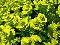 Euphorbia cyparissias flowering 03.JPG