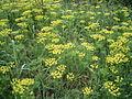 Euphorbia cyparissias overzicht.jpg