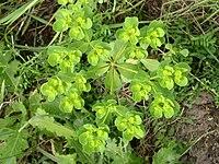 Euphorbia helioscopia inflorescence vertical view 1 AB.jpg