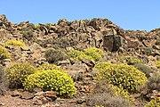 Euphorbia lamarckii 006.jpg