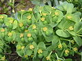 Euphorbia myrsinites flowers close-up.jpg