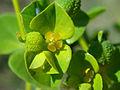 Euphorbia platyphyllos W-4X3.jpg