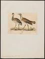 Eupodotis ludwigii - 1820-1860 - Print - Iconographia Zoologica - Special Collections University of Amsterdam - UBA01 IZ17200031.tif