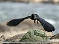 Eurasian Jackdaw (Corvus monedula) (30021358938).jpg