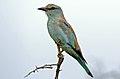 Eurasian Roller (Coracias garrulus semenowi) (16461050642).jpg