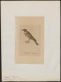 Euspiza aureola - 1810 - Print - Iconographia Zoologica - Special Collections University of Amsterdam - UBA01 IZ16100209.tif