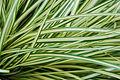 Evergold Sedge Carex oshimensis 'Evergold' Leaves 3008px.JPG