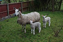 A Bluefaced Leicester ewe and her lambs stand in a garden on green grass.