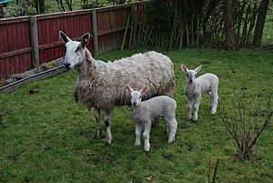 Bluefaced Leicester - A Bluefaced Leicester ewe and her lambs