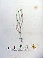 Exacum filiforme — Flora Batava — Volume v9.jpg