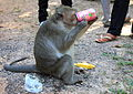 Fanta cannot be good for a monkey... (4331754056).jpg
