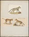Felis caligata - 1700-1880 - Print - Iconographia Zoologica - Special Collections University of Amsterdam - UBA01 IZ22100364.tif