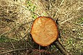 Felled tree, Castlewellan Forest Park - geograph.org.uk - 1246412.jpg