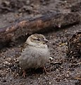 Female House Sparrow (33448893490).jpg