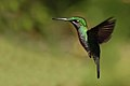 Female green-crowned brilliant hummingbird.jpg