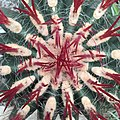 Ferocactus pilosus (detail of growing point).jpg