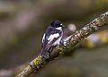 Ficedula hypoleuca Sussex 4.jpg