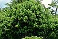 Ficus (Ficus benjamina) (14507576020).jpg