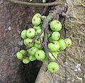 Ficus racemosa - Flickr - Dick Culbert.jpg