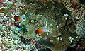 Fire Gobies (Nemateleotris magnifica) (6059010022).jpg