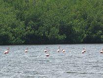 Flamencos, Laguna de Guanaroca, Cuba.jpg