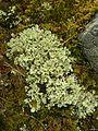 Flavocetraria nivalis - Flickr - pellaea (1).jpg