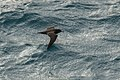 Flesh-footed Shearwater - Cook Strait - New Zealand (39123499882).jpg
