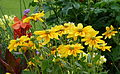 Fleurs jaunes dans plate-bande.jpg