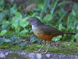 Flickr - Dario Sanches - SABIÁ-LARANJEIRA (Turdus rufiventris) (7).jpg
