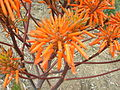 Flickr - brewbooks - Aloe baurii (2).jpg