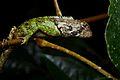 Flickr - ggallice - Roosting lizard (1).jpg