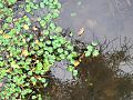 Floating leaves (23884901770).jpg