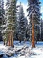 Flocked Forest, Yosemite NP 5-20-15 (18349138512).jpg