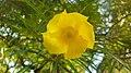 Flor Amarela 20200310 151338.jpg