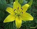 Flor de Açucena (348254876).jpg