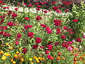 Flower beds magenta and yellow - Flickr - Swami Stream.jpg