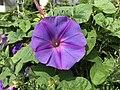 Flower of Ipomoea nil 20180624.jpg
