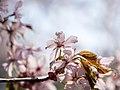 Flower viewing custom, Japan; April 2014 (02).jpg