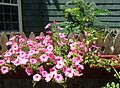 Flowers and cherry tomatoes growing in planter box.jpg