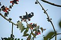 Flying Myna (247718069).jpeg