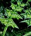 Folha selvagem com espinhos.jpg