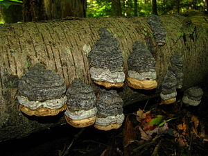 Fomes fomentarius - Though initially parasitic, F. fomentarius continues to grow upon fallen trees.