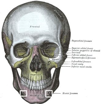 Mental foramen - Image: Foramen mentale