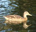 Ford Park, Sunrise Duck, Redlands, CA 8-12 (7796529910).jpg