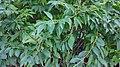 Forsythia koreana 1.jpg