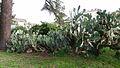 Four Opuntia (10007212283).jpg