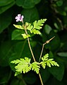 Fox geranium in Govik 2.jpg