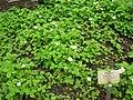Fragaria nubicola - Berlin Botanical Garden - IMG 8663.JPG