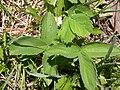 Fragaria virginiana (5069187797).jpg