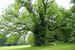 Fraxinus excelsior - Ardenne 1b.JPG